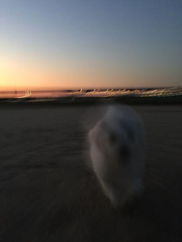 ビションフリーゼ子犬フントヒュッテこいぬ家族募集里親関東_2266.jpg