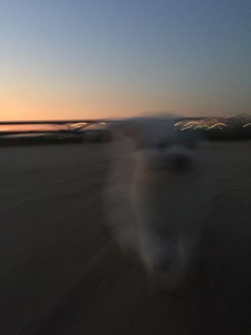 ビションフリーゼ子犬フントヒュッテこいぬ家族募集里親関東_2267.jpg