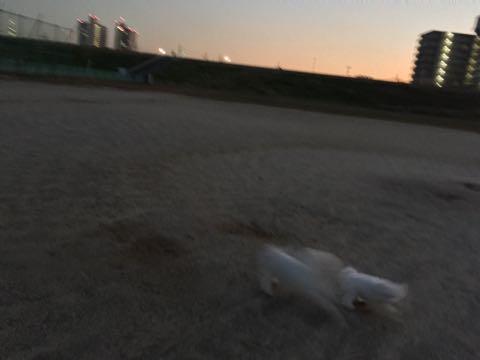 ビションフリーゼ子犬フントヒュッテこいぬ家族募集里親関東_2269.jpg