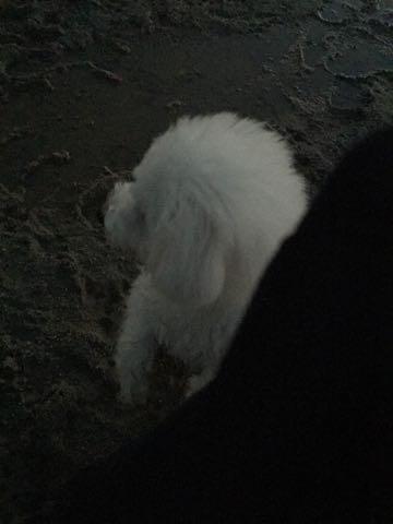 ビションフリーゼ子犬フントヒュッテこいぬ家族募集里親関東_2284.jpg