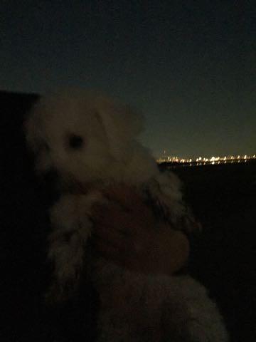 ビションフリーゼ子犬フントヒュッテこいぬ家族募集里親関東_2301.jpg