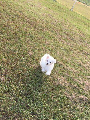 ビションフリーゼ子犬フントヒュッテこいぬ家族募集里親関東_1579.jpg
