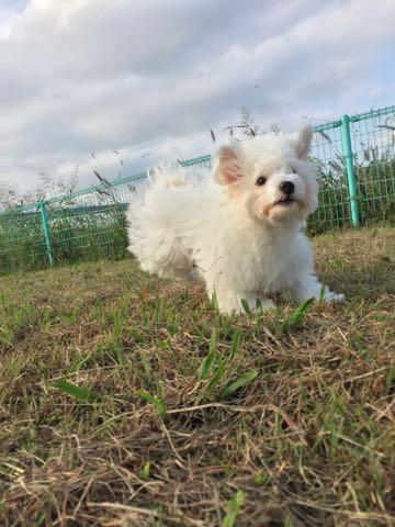 ビションフリーゼ子犬フントヒュッテこいぬ家族募集里親関東_1582.jpg