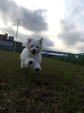 ビションフリーゼ子犬フントヒュッテこいぬ家族募集里親関東_1585.jpg