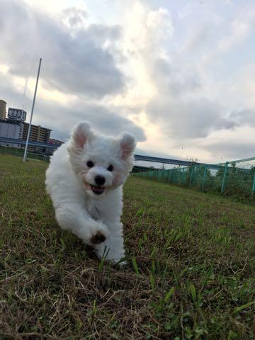 ビションフリーゼ子犬フントヒュッテこいぬ家族募集里親関東_1586.jpg