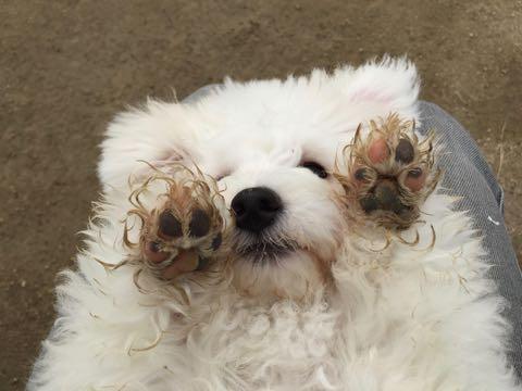ビションフリーゼ子犬フントヒュッテこいぬ家族募集里親関東_1594.jpg