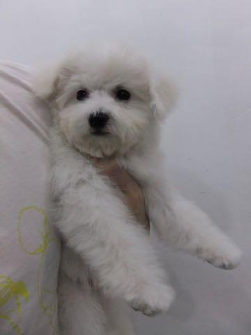 ビションフリーゼ子犬フントヒュッテこいぬ家族募集里親関東_2308.jpg