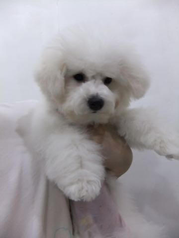 ビションフリーゼ子犬フントヒュッテこいぬ家族募集里親関東_2315.jpg