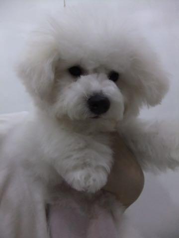 ビションフリーゼ子犬フントヒュッテこいぬ家族募集里親関東_2316.jpg