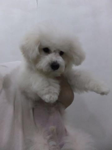 ビションフリーゼ子犬フントヒュッテこいぬ家族募集里親関東_2317.jpg