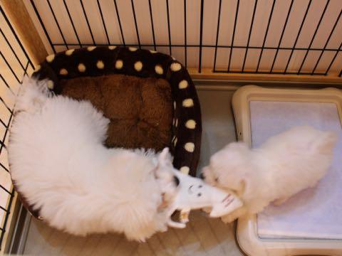 ビションフリーゼ子犬フントヒュッテこいぬ家族募集里親関東_1595.jpg
