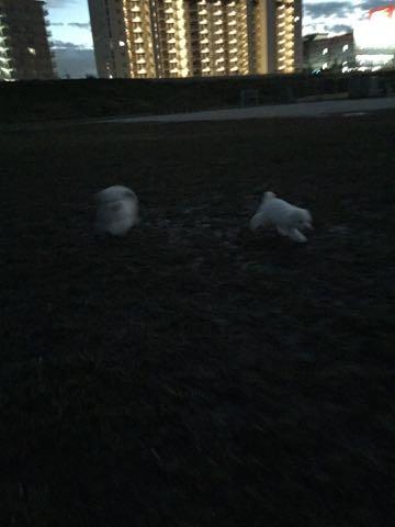 ビションフリーゼ子犬フントヒュッテこいぬ家族募集里親関東_2321.jpg