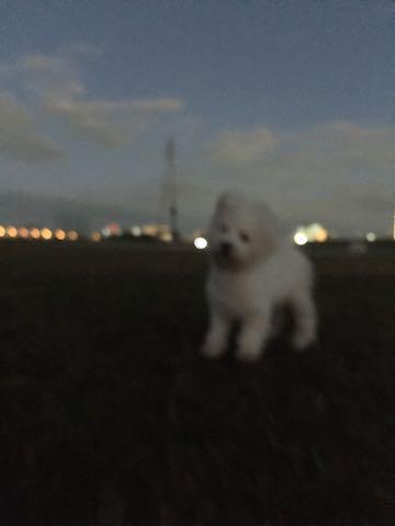 ビションフリーゼ子犬フントヒュッテこいぬ家族募集里親関東_2328.jpg