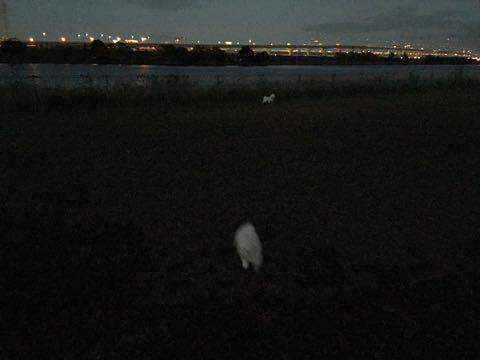 ビションフリーゼ子犬フントヒュッテこいぬ家族募集里親関東_2332.jpg