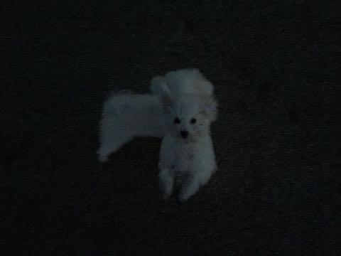 ビションフリーゼ子犬フントヒュッテこいぬ家族募集里親関東_2339.jpg