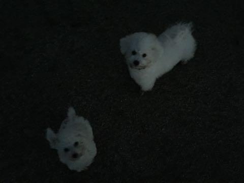 ビションフリーゼ子犬フントヒュッテこいぬ家族募集里親関東_2340.jpg