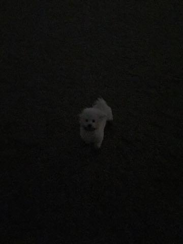 ビションフリーゼ子犬フントヒュッテこいぬ家族募集里親関東_2347.jpg
