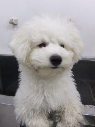 ビションフリーゼ子犬フントヒュッテこいぬ家族募集里親関東_2351.jpg