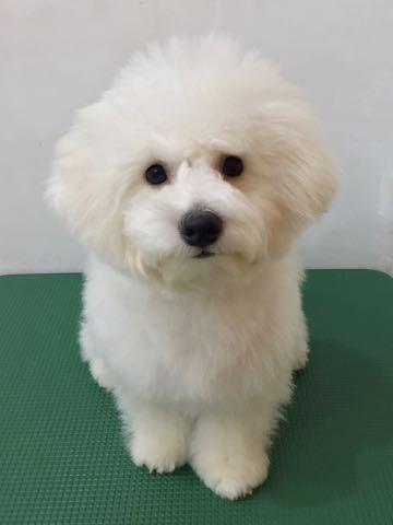 ビションフリーゼ子犬フントヒュッテこいぬ家族募集里親関東_2356.jpg