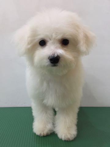 ビションフリーゼ子犬フントヒュッテこいぬ家族募集里親関東_2362.jpg