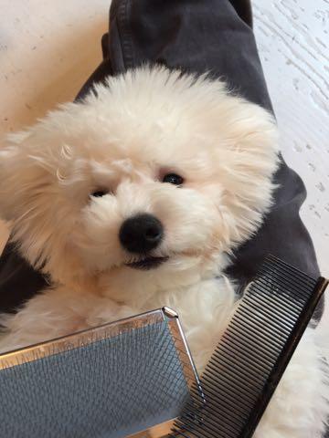 ビションフリーゼ子犬フントヒュッテこいぬ家族募集里親関東_2366.jpg