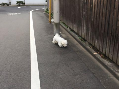 ビションフリーゼ子犬フントヒュッテこいぬ家族募集里親関東_2368.jpg