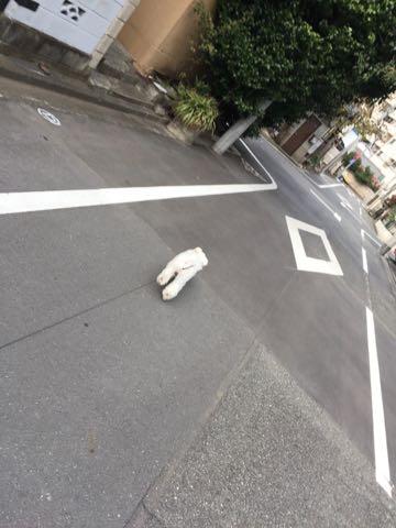 ビションフリーゼ子犬フントヒュッテこいぬ家族募集里親関東_2369.jpg