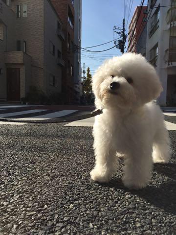 ビションフリーゼ子犬フントヒュッテこいぬ家族募集里親関東_2381.jpg