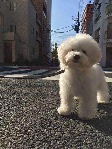 ビションフリーゼ子犬フントヒュッテこいぬ家族募集里親関東_2382.jpg