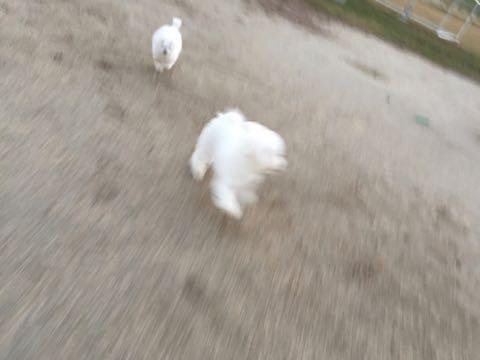 ビションフリーゼ子犬フントヒュッテこいぬ家族募集里親関東_2393.jpg