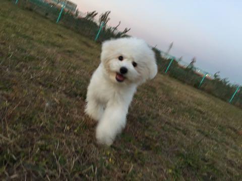 ビションフリーゼ子犬フントヒュッテこいぬ家族募集里親関東_2396.jpg