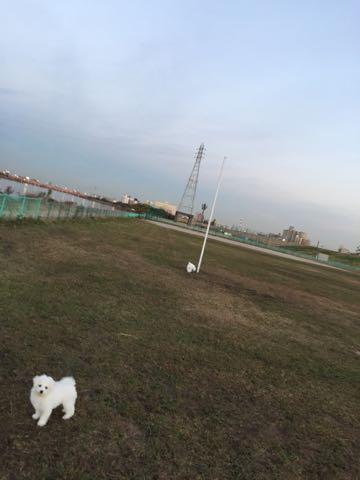 ビションフリーゼ子犬フントヒュッテこいぬ家族募集里親関東_2398.jpg