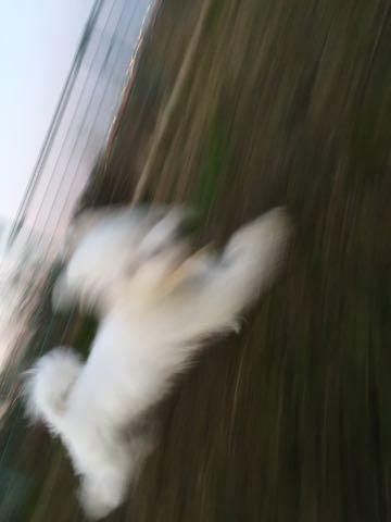 ビションフリーゼ子犬フントヒュッテこいぬ家族募集里親関東_2401.jpg