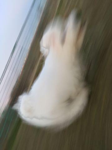 ビションフリーゼ子犬フントヒュッテこいぬ家族募集里親関東_2402.jpg