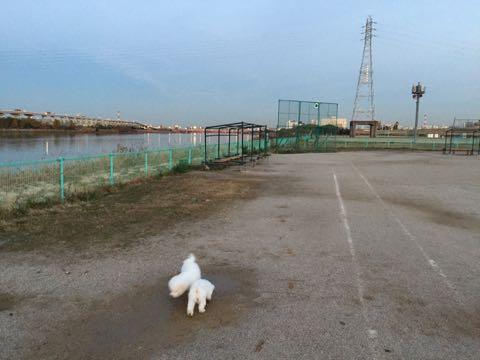 ビションフリーゼ子犬フントヒュッテこいぬ家族募集里親関東_2412.jpg