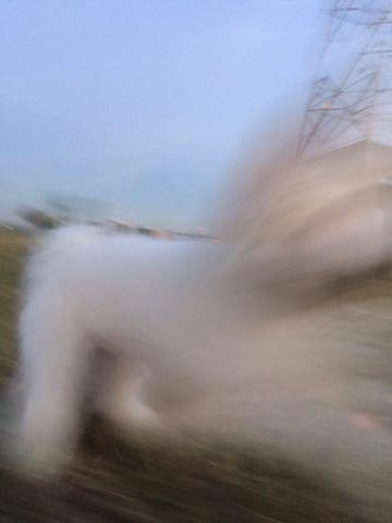 ビションフリーゼ子犬フントヒュッテこいぬ家族募集里親関東_2421.jpg