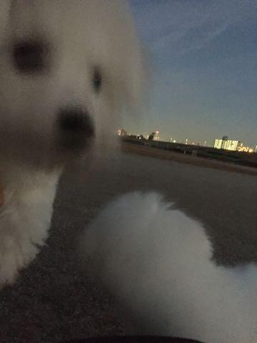 ビションフリーゼ子犬フントヒュッテこいぬ家族募集里親関東_2426.jpg