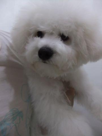 ビションフリーゼ子犬フントヒュッテこいぬ家族募集里親関東_2435.jpg