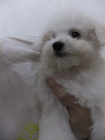 ビションフリーゼ子犬フントヒュッテこいぬ家族募集里親関東_2438.jpg