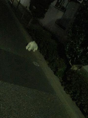 ビションフリーゼ子犬フントヒュッテこいぬ家族募集里親関東_2440.jpg