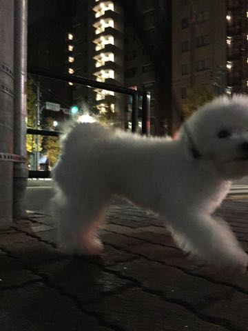 ビションフリーゼ子犬フントヒュッテこいぬ家族募集里親関東_2441.jpg