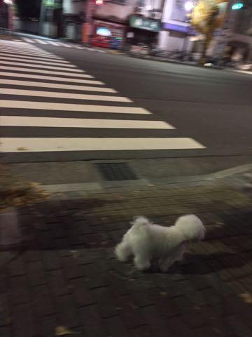 ビションフリーゼ子犬フントヒュッテこいぬ家族募集里親関東_2442.jpg