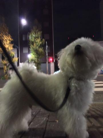 ビションフリーゼ子犬フントヒュッテこいぬ家族募集里親関東_2443.jpg