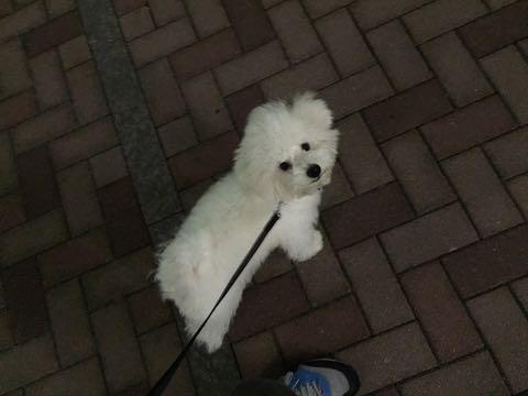 ビションフリーゼ子犬フントヒュッテこいぬ家族募集里親関東_2447.jpg