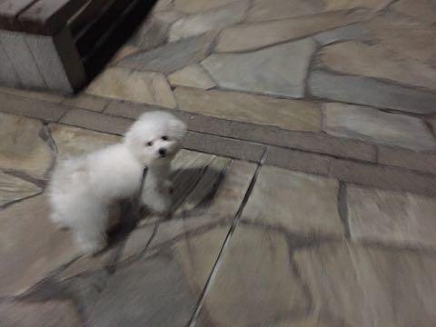 ビションフリーゼ子犬フントヒュッテこいぬ家族募集里親関東_2448.jpg