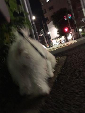 ビションフリーゼ子犬フントヒュッテこいぬ家族募集里親関東_2450.jpg