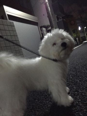 ビションフリーゼ子犬フントヒュッテこいぬ家族募集里親関東_2452.jpg