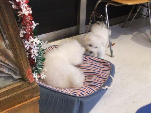 ビションフリーゼ子犬フントヒュッテこいぬ家族募集里親関東_2466.jpg