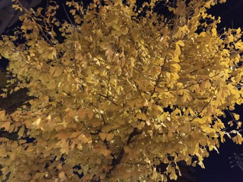 イチョウいちょう銀杏秋落葉イチョウ並木イチョウの葉黄色イチョウの木オスメス銀杏臭いにおいクサイ落ち葉の絨毯落葉掃除いちょう画像_2.jpg
