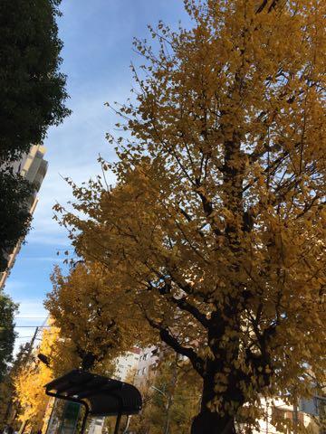 イチョウいちょう銀杏秋落葉イチョウ並木イチョウの葉黄色イチョウの木オスメス銀杏臭いにおいクサイ落ち葉の絨毯落葉掃除いちょう画像_4.jpg